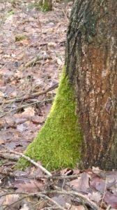 mech na pniu drzewa